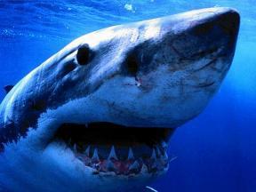 sharks013[1]6056.jpg