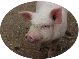 pig close.JPG