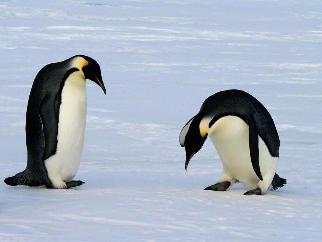 an overview of the animal species penguins